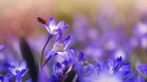 Ladybug on Purple Flower Wallpaper