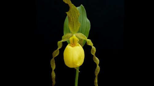 Yellow Lady Slipper Orchid Wallpaper